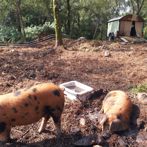 Ginger Pigs in woodland. Oxford sandy & Black Pigs